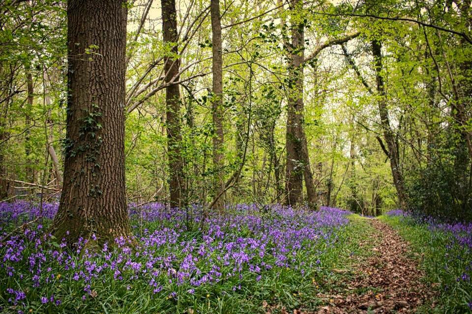 bluebells_woods_EH